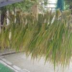 稲刈りinTOKYO 都会でも農業が出来るんだなっし!