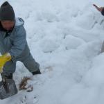 雪の中から「雪菜」(ゆきな)を掘り出したんだっす。&米沢牛の子牛たち