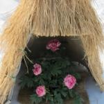 高畠町の「まほろば冬咲きぼたん祭り」に行ってきたんだっす!!