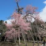 「置賜さくら回廊」パート2  は、長井市内のサクラを見てきたんだっす!