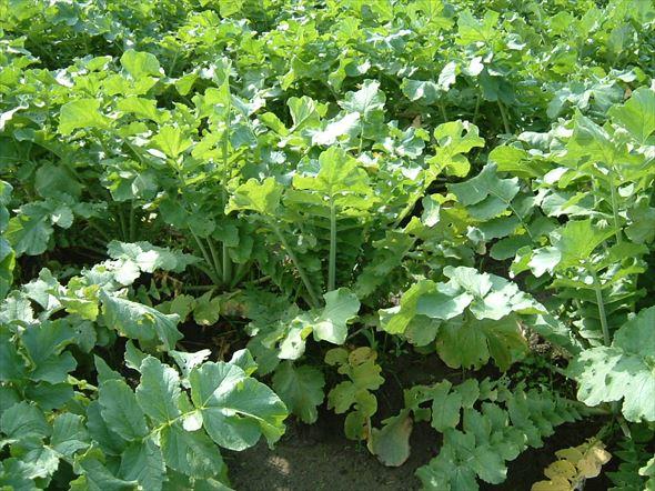 収穫調査時の生育5(8.27は種Aタイプの草姿)10.30_R