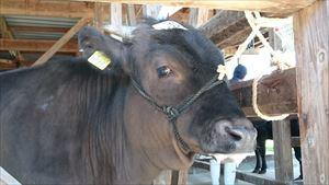 「子牛市場」が風薫る5月2日にあったんだよー☆//