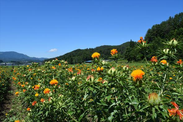 白鷹紅花まつり