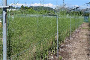 栽培初心者でも支援体制がしっかりあるので安心☆アスパラガス栽培研修会で圃場を見学させてもらっだよ!!